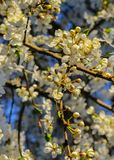 Flowers of the cherry blossoms in a spring day stock photography