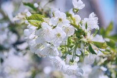Flowers of the cherry blossoms on a spring day.  stock photos