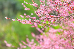 Flowers of cherry blossoms on spring day Royalty Free Stock Photo