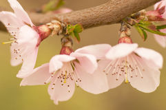 Flowers of the cherry blossoms Stock Photos