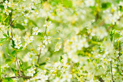 Flowers of the cherry blossoms. On a spring day Royalty Free Stock Photography