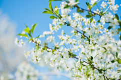 Flowers of the cherry blossoms Stock Image