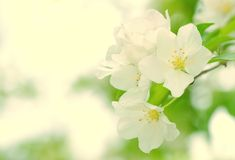Flowers of the cherry blossoms at spring Stock Image