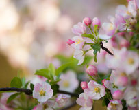 Flowers of the cherry blossoms on a spring day Stock Photography