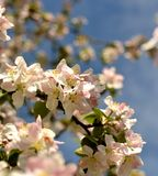 Flowers of the cherry blossoms Royalty Free Stock Photography