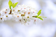 Flowers of the cherry blossoms on a spring day. Stock Photo