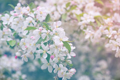 Flowers of the cherry blossoms on a spring day. Royalty Free Stock Photo