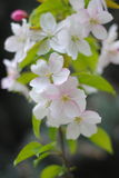 Flowers of the cherry blossoms on a spring day Royalty Free Stock Photos