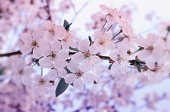 Flowers of the cherry blossoms on a spring day Stock Photos