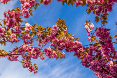 Flowers of the cherry blossoms on a spring day. Flowers of the cherry blossoms on branches at spring Royalty Free Stock Images