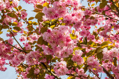 Flowers of the cherry blossoms on a spring day. Flowers of the cherry blossoms on branches at spring Royalty Free Stock Photos