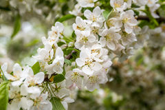 Flowers of the cherry blossoms on a spring day. Flowers of the cherry blossoms on branches at spring Stock Images
