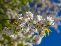 Flowers of the cherry blossoms on a spring day. Flowers of the cherry blossoms on branches at spring Royalty Free Stock Photo