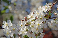 Flowers of the cherry blossoms on a spring day, Central Russia. Flowers of the cherry blossoms on a spring day Royalty Free Stock Images