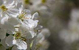 Flowers of the cherry blossoms on a spring day close up. Flowers of the cherry blossoms on a spring day stock image