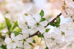 Flowers of the cherry blossoms on a spring day Royalty Free Stock Photo