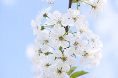 Flowers of the cherry blossoms on a spring day Stock Images