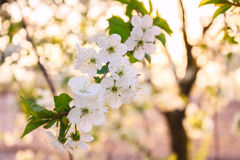 Flowers of the cherry blossoms on a spring day Royalty Free Stock Images