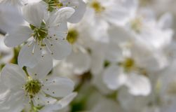 Flowers of the cherry blossoms on a spring day close up. Flowers of the cherry blossoms on a spring day stock photos