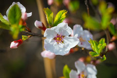 Flowers of the cherry blossoms. Royalty Free Stock Photos