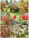 Flowers of the cherry blossoms on a spring day. Spring blooming cherry flowers branches. Blooming spring branches. White, pink and red small flowers, close up Stock Photo
