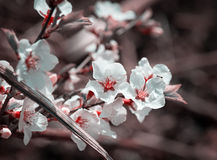 Flowers of the cherry blossoms. Stock Image