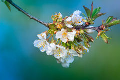 Flowers of the cherry blossoms. Royalty Free Stock Image