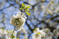 Flowers of the cherry blossoms on a spring suny day. Blurred background Stock Photos