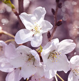 Flowers of the cherry blossoms. Stock Photo