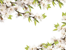 Flowers of cherry Royalty Free Stock Image