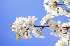 Flowers of cherry in spring garden at blue sky Royalty Free Stock Photos