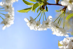 Flowers of cherry in spring garden at blue sky Royalty Free Stock Photo