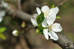The flowers of cherry tree Stock Photos