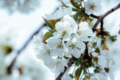 Flowers of cherry tree. Beautiful white flowers of cherry tree Royalty Free Stock Image
