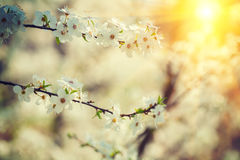 Flowers of cherry-tree close up instagram  style Version Stock Image