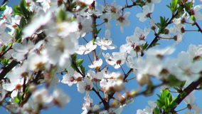 Flowers cherry tree. stock footage