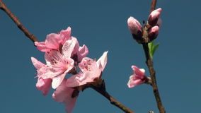 Flowers cherry tree. stock video footage