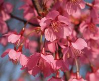Flowers of a cherry-tree Royalty Free Stock Photo