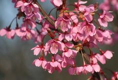 Flowers of a cherry-tree Royalty Free Stock Photos