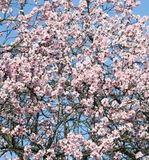 Flowers of a cherry-tree Royalty Free Stock Image