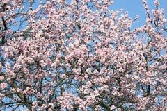 Flowers of a cherry-tree Stock Photos