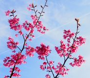 Flowers of a cherry-tree Royalty Free Stock Photography