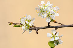 Flowers. Cherry tree flowers on sunny day Royalty Free Stock Photography