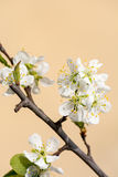 Flowers. Cherry tree flowers in sunny day Royalty Free Stock Photos