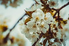 Flowers of cherry tree. White flowers of cherry tree in spring Stock Images