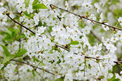 Flowers of cherry Stock Photos