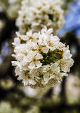 Flowers of cherry. White flowers of cherry friuts Stock Photo