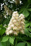 Flowers of a chestnut. In spring stock photo
