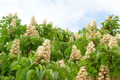 Flowers of a chestnut. In spring royalty free stock images