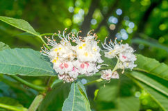 Flowers of chestnut tree Royalty Free Stock Images